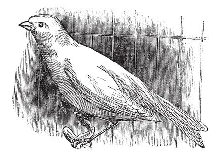 Ordinary canary, vintage engraved illustration. Trousset encyclopedia (1886 - 1891). Stock Vector - 13770630