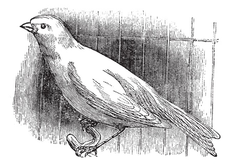 Ordinary canary, vintage engraved illustration. Trousset encyclopedia (1886 - 1891).