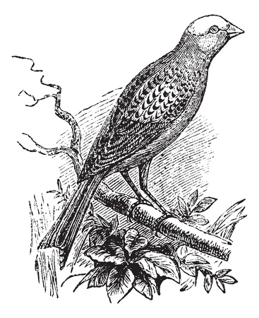 Lizard Canary, vintage engraving.  Old engraved illustration of Lizard Canary waiting on a branch.