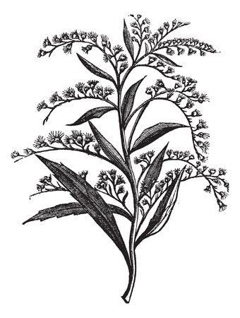 inflorescência: Canada goldenrod or Solidago canadensis or Canada goldenrod, vintage engraving. Old engraved illustration of Canada goldenrod isolated on a white background.