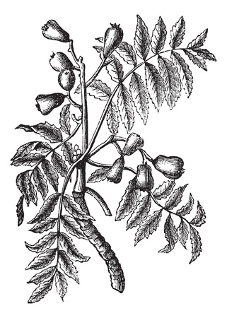 rosaceae: Sorbus domestica or Service Tree or True Service Tree or Sorb or Sorb Tree or Whitty Pear, vintage engraving. Old engraved illustration of Sorbus domestica isolated on a white background.