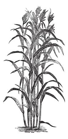 Sorghum bicolour or Sorghum vulgare or sorghum or Durra or Jowari or Sorghum japonicum, vintage engraving. Old engraved illustration of Sorghum bicolour. Vector