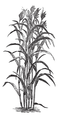 Sorghum bicolour or Sorghum vulgare or sorghum or Durra or Jowari or Sorghum japonicum, vintage engraving. Old engraved illustration of Sorghum bicolour.