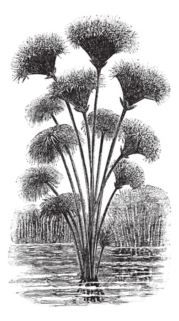 papyrus: Papyrus sedge or Cyperus papyrus or Paper reed, vintage engraving. Old engraved illustration of Papyrus sedge.