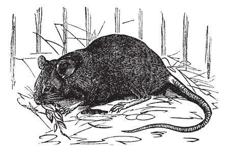 House mouse or Mus musculus, vintage engraving. Old engraved illustration of House mouse.