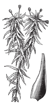 moss: Small red peat moss or Sphagnum capillifolium or S. palustre var. Capillifolium or S. acutifolium var. Capillifolium , vintage engraving. Old engraved illustration of Small red peat moss isolated on a white background. Illustration