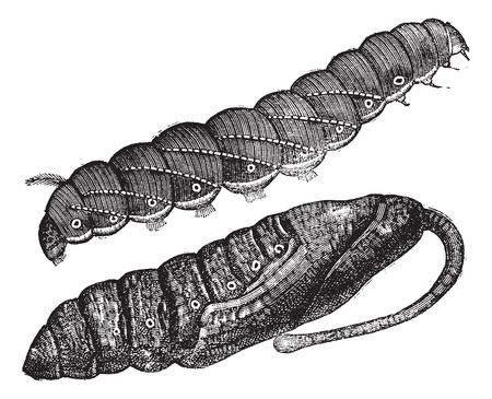 nympha: Larva and chrysalis of Sphinx quinquemaculatus, vintage engraving. Old engraved illustration of Larva and chrysalis of Sphinx quinquemaculatus (caterpillar) isolated on a white background. Illustration