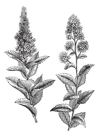 botanika: Spiraea salicifolia a Steeplebush nebo Spiraea tomentosa nebo Hardhack, vinobraní. Staré ryté ilustrace Spiraea salicifolia (1) a Steeplebush (2), izolovaných na bílém pozadí.
