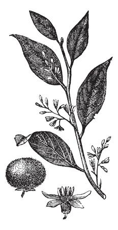 sumatra: Styrax Benzoin or gum benjamin tree or loban or kemenyan or onycha or Sumatra benzoin tree, vintage engraved illustration. Trousset encyclopedia (1886 - 1891).