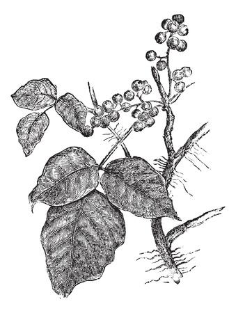 La hiedra venenosa (Rhus Toxicodendron), añada una ilustración grabada. Enciclopedia Trousset (1886 - 1891).