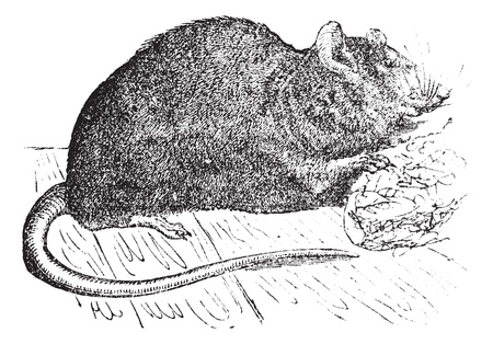 Brown rat (Mus Decumanus) or common rat or sewer rat or Hanover rat or Norway rat or Brown Norway rat or Norwegian rat or wharf rat, vintage engraved illustration.Trousset encyclopedia (1886 - 1891). Illustration