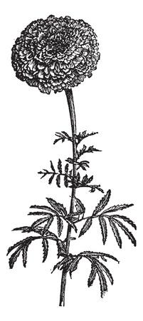 cempasuchil: Tagete stands (Tagetes erecta) o la cal�ndula o maravilla mexicana Azteca, cosecha ilustraci�n grabada. Enciclopedia Trousset (1886 - 1891).