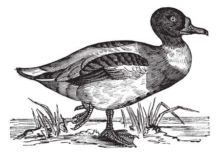 Common Shelduck (Tadorna vulpanser), vintage engraved illustration. Shelduck on water. Trousset encyclopedia (1886 - 1891).