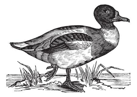 dessin noir blanc: Tadorne de Belon (Tadorna vulpanser), mill�sime grav� illustration. Tadorne de Belon sur l'eau. Encyclop�die Trousset (1886-1891). Illustration