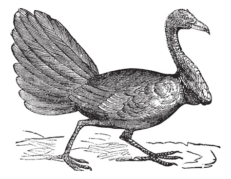 Talegalla lathami or Cuviers Brushturkey or Red-billed Brushturkey, vintage engraved illustration. Trousset encyclopedia (1886 - 1891).   Vector