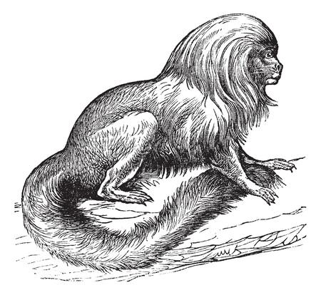 midas: Tamarin marikiva (Midas rosalia), vintage engraved illustration. Trousset encyclopedia (1886 - 1891).