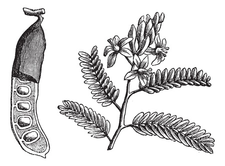 Tamarind (Tamarindus indica), vintage engraved illustration. tamarind leaf and seed on white. Trousset encyclopedia (1886 - 1891).  Illustration