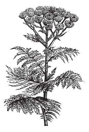 vulgare: Tansy (Tanacetum vulgare) or Common Tansy or Bitter Buttons or Cow Bitter or Mugwort or Golden Buttons, vintage engraved illustration. Tansy isolated on white. Trousset encyclopedia (1886 - 1891).