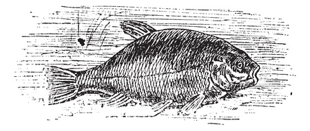 fresh seafood: Common tench (Cyprinus tinca), vintage engraved illustration. Trousset encyclopedia (1886 - 1891).