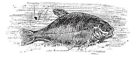 일반적인 잉어의 일종 (Cyprinus tinca), 빈티지 새겨진 된 그림. Trousset 백과 사전 (1886-1891).