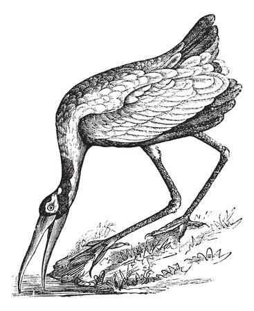 넘어 가고: 나무 황새 (탄탈 loculator) 또는 Mycteria이 아메리 또는 나무 비스, 빈티지 새겨진 그림. Trousset 백과 사전 (1886-1891). 일러스트