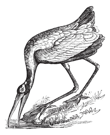 wade: Wood Stork (Tantalus loculator) or Mycteria americana or Wood Ibis, vintage engraved illustration. Trousset encyclopedia (1886 - 1891).