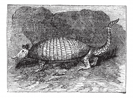 Armadillo has six bands (Dasypus sexcinctus Encoubert or D.), vintage engraved illustration. Trousset encyclopedia (1886 - 1891). Vector