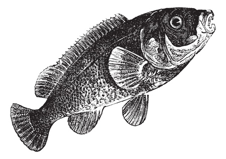 Tautog (Tautoga Americana), vintage engraved illustration. Tautog isolated on white. Trousset encyclopedia (1886 - 1891). Stock Vector - 13770736