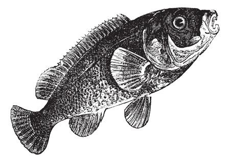 Tautog (Tautoga Americana), vintage engraved illustration. Tautog isolated on white. Trousset encyclopedia (1886 - 1891). Stock Vector - 13770736
