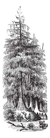 cypress tree: Taxodier couplet (Taxodium distichum) or Bald-cypress or Baldcypress or Swamp Cypress, vintage engraved illustration. Bald Cypress tree. Trousset encyclopedia (1886 - 1891). Illustration