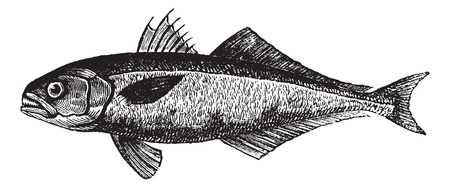 bluefish: The bluefish (Pomatomus saltatrix) or tailor, vintage engraved illustration. Trousset encyclopedia (1886 - 1891).