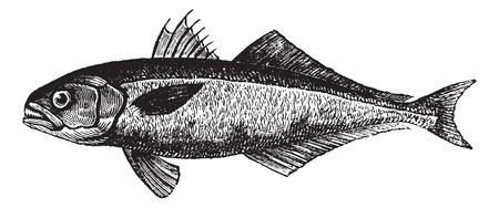 The bluefish (Pomatomus saltatrix) or tailor, vintage engraved illustration. Trousset encyclopedia (1886 - 1891). Stock Vector - 13767048