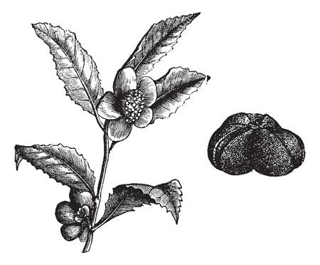 The (Camellia thea) or Camellia or Camellias, vintage engraved illustration. Beautiful Camellia flower.Trousset encyclopedia (1886 - 1891).