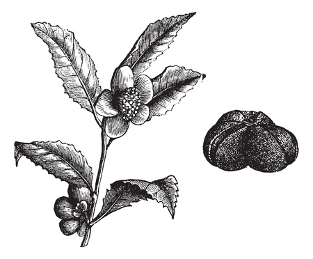 The (Camellia thea) or Camellia or Camellias, vintage engraved illustration. Beautiful Camellia flower.Trousset encyclopedia (1886 - 1891).