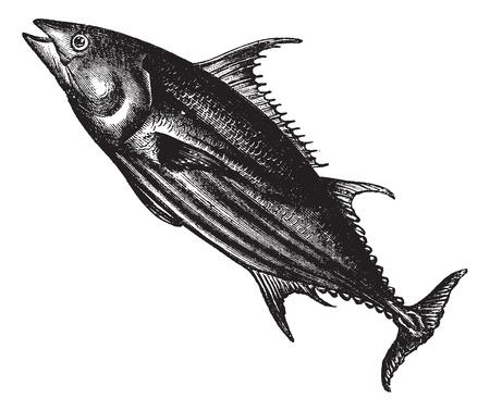 thunnus: Tropical bonito (Thunnus pelamys), vintage engraved illustration. Trousset encyclopedia (1886 - 1891).