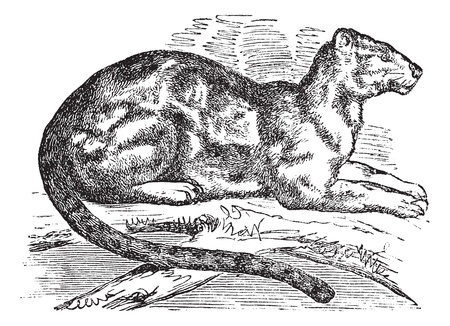 vulnerable: Clouded leopard (Neofelis nebulosa), vintage engraved illustration. Clouded leopard resting. Trousset encyclopedia (1886 - 1891).
