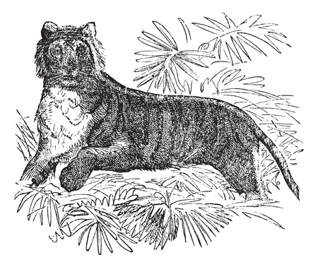 panthera: Tiger (Felis tigris) or Panthera tigris, vintage engraved illustration. Felis tigris. Trousset encyclopedia (1886 - 1891).