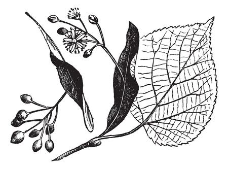 linden blossom: Linden leaf, flower and fruit, vintage engraved illustration. Trousset encyclopedia (1886 - 1891).