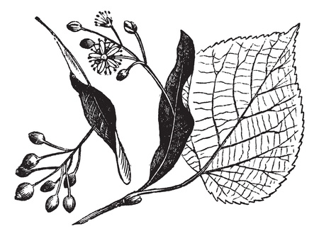 Linden leaf, flower and fruit, vintage engraved illustration. Trousset encyclopedia (1886 - 1891).
