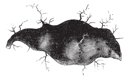 apple leaf: Jerusalem artichoke (Helianthus tuberosus) or sunroot or sunchoke or earth apple or topinambour, vintage engraved illustration. Trousset encyclopedia (1886 - 1891).