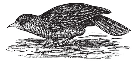 eurasian: Eurasian Wryneck or Jynx torquilla, vintage engraved illustration. Jynx torquilla on water. Trousset encyclopedia (1886 - 1891).