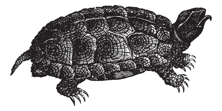 herpetology: Sculpted turtle (Glyptemys insculpta) or Wood turtle, vintage engraved illustration. Sculpted turtle on white. Trousset encyclopedia (1886 - 1891).