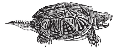 freshwater turtle: Snapping Turtle (Chelydra serpentina), vintage engraved illustration. Snapping Turtle isolated on white background. Trousset encyclopedia (1886 - 1891).