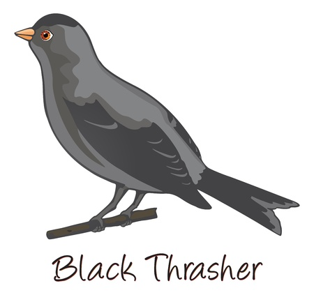 perched: Brown Trasher, Perched on a Branch, Color Illustration Illustration