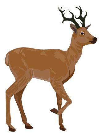 Deer, Buck, Braun, männlich, Vektor-Illustration Vektorgrafik
