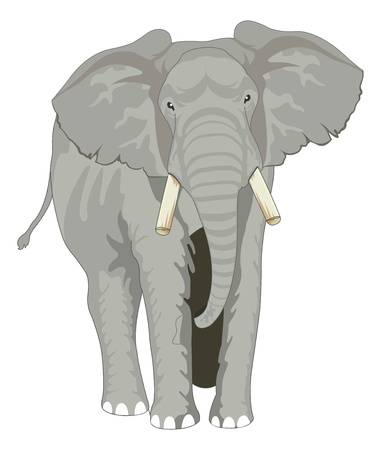 african grey: Elephant, Gray, Facing Front, vector illustration