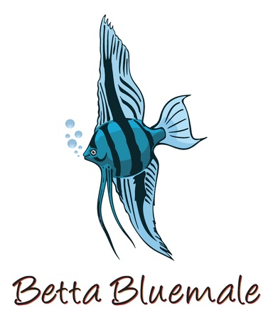 fighting fish: Betta, Color Illustration