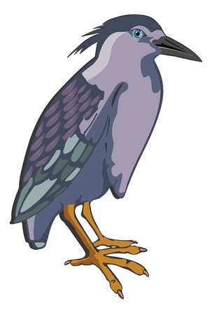 ornithological: Night Heron or Nycticorax sp., Bird, Blue Violet and Gray, vector illustration Illustration