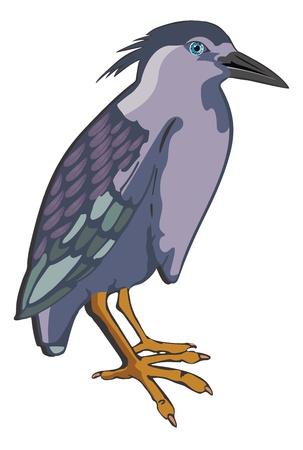 grey heron: Night Heron or Nycticorax sp., Bird, Blue Violet and Gray, vector illustration Illustration