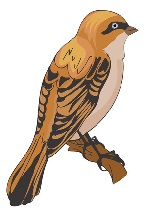 Sparrow or Passeridae, Bird, Orange and Black, Perched on a Branch, vector illustration Illustration